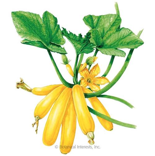 Botanical Interests Summer Squash Max's Gold