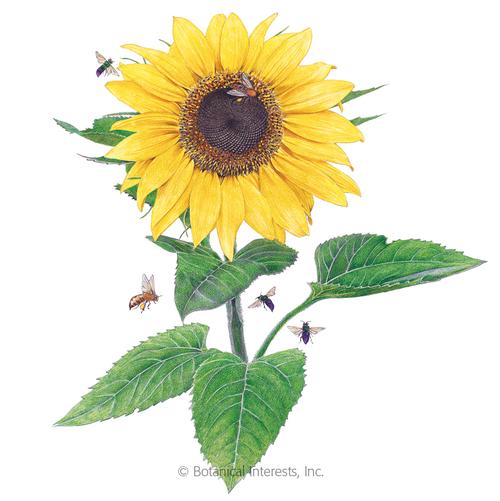 Botanical Interests Sunflower Lemon Queen Organic