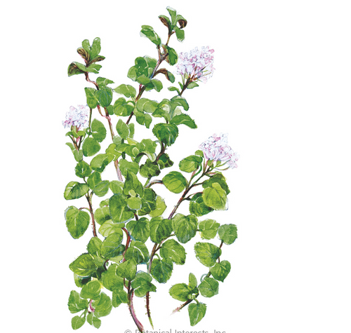 Greek Oregano Perennial 7""