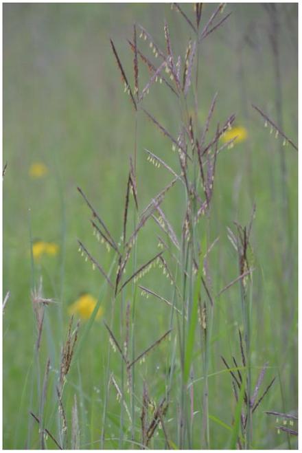 "Big Bluestem Native Grass 4"""