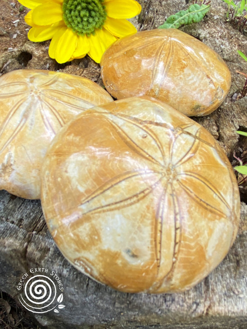 Echinoid Pansy Fossil Shell