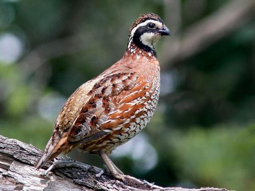 A male bobwhite quail similar to the bobwhite quail carving pattern.