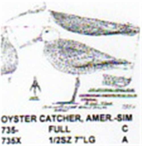 American Oyster Catcher  Standing