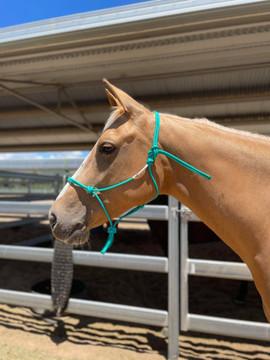 Turquoise Cob training halter on 15hh quarter horse x stock horse