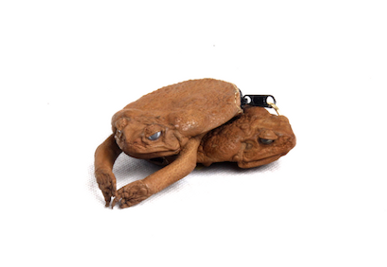 Purse Cane Toad With Legs