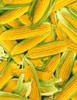 Cotton Print Yarmulkes Corn - YELLOW
