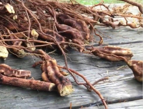 Fo Ti Root Extract