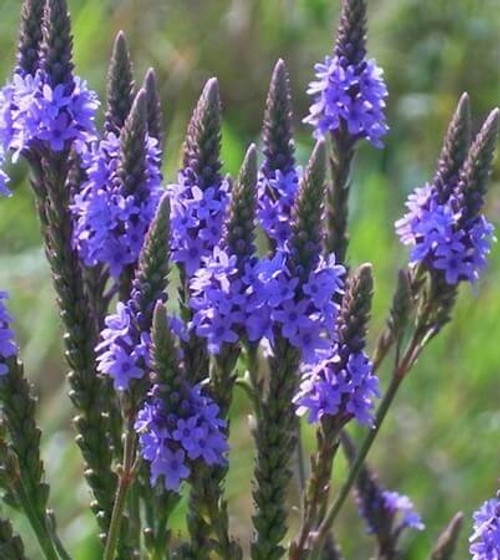 Blue Vervain Extract