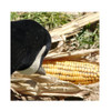 AVERY 12 Pack of Field Corn Decoys (71512)