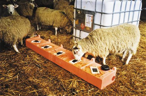 Sheep feeding at 95 litre 5 wheel lick feeder