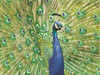 Beautiful Peacock Sculpted Embossed Blank 9 Boxed Note Cards and Envelopes