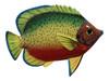 Big 12 Inch Tropical Fish Tiki Sea Life Bath Wall Decor Green Back 12TFW02