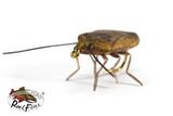 Realistic Stink Bug Brown