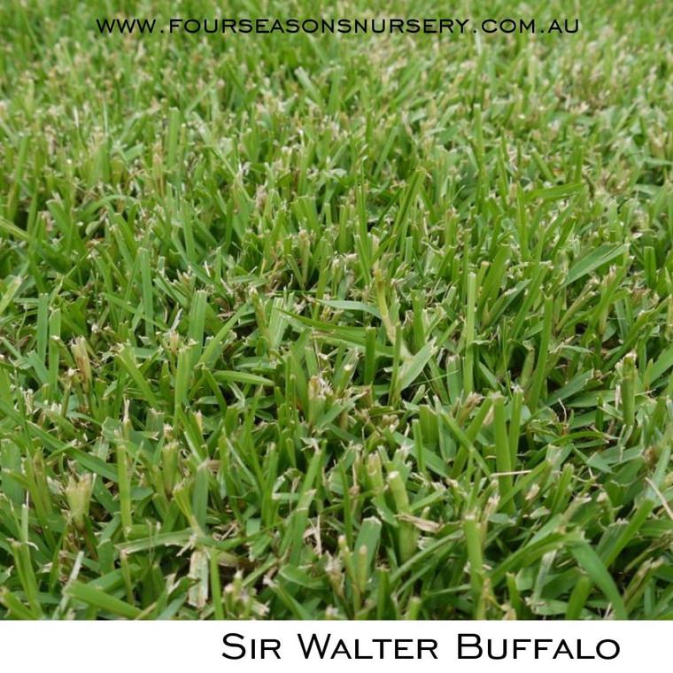 Sir Walter DNA Certified Buffalo