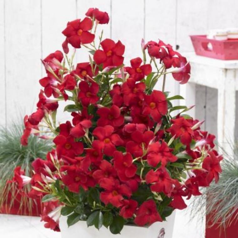 Dipladenia 'Sundenia Red' 200 mm