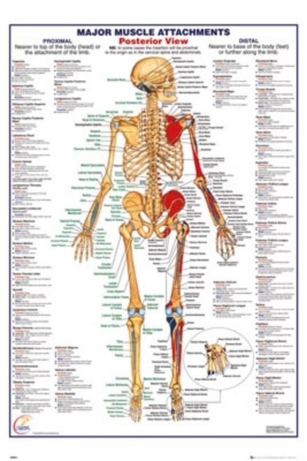 Human Body - Major Muscles Attachments Posterior-Poster-Laminated available-91cm x 61cm-Brand New-PSA034138