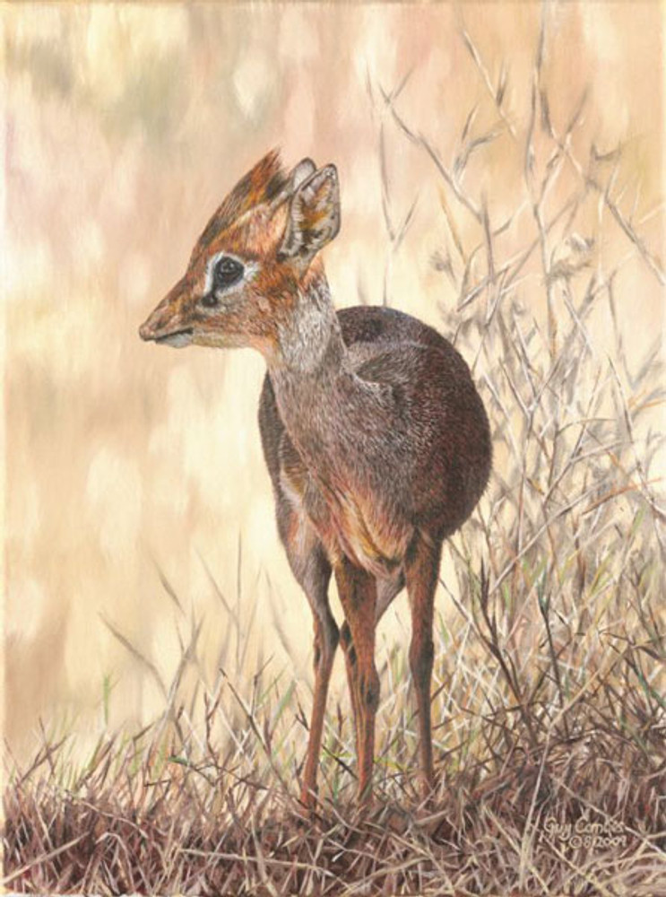 Dik-Dik, by Guy Combes SMALLWORK CANVAS EDITION