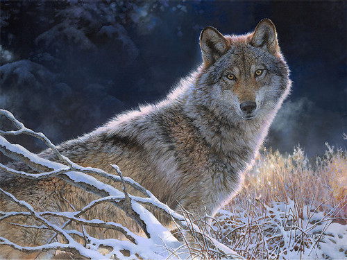 Frosty Winter - Wolf Bonnie Marris
