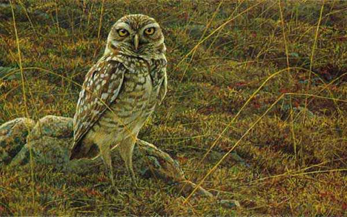 """Burrowing Owl"" by Robert Bateman"