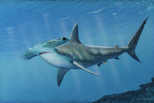 Hammerhead Shark painting