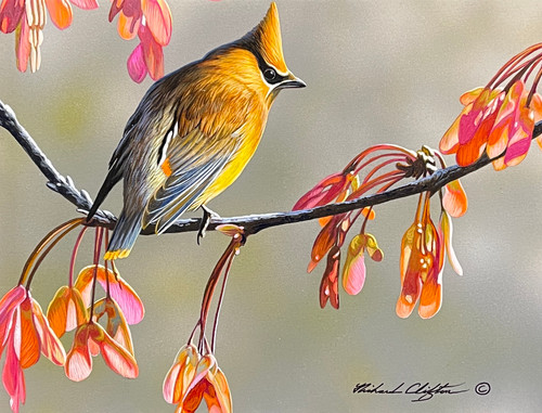 Cedar Wax Wing by Richard Clifton