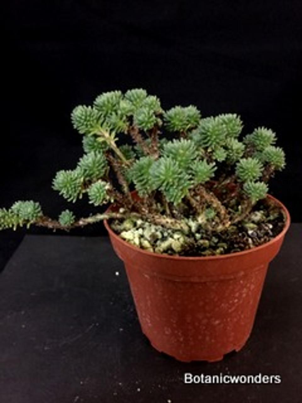 Sedum multiceps Miniature Joshua Tree Beautiful and very