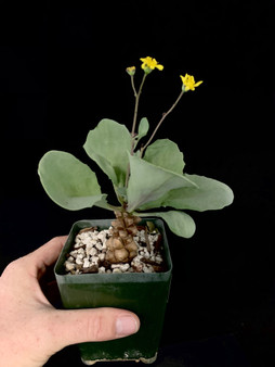 "Othonna herrei #2 - 3.5"" Pot - Beautiful flowering specimen!"