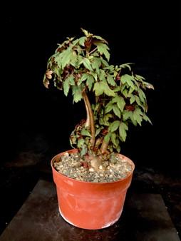 """Begonia dregei 6"""" Pot Specimen #2 - Fat caudex!"""