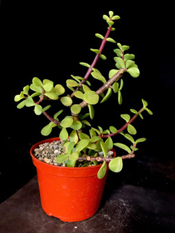 "Portulacaria afra 'Cork Bark' - Pre bonsai #2 - 5"" Pot"