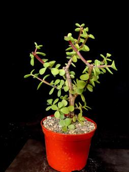 "Portulacaria afra 'Cork Bark' - Pre bonsai #3 - 5"" Pot"