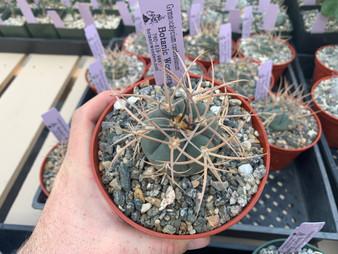 """Gymnocalycium cardenasianum - 5"""" Pots - Super long spines!"""