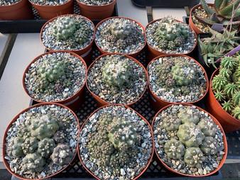 """Copiapoa humilis CLUMPS - 6"""" Pots"""