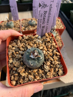 "Turbinicarpus schmiedickeanus v. schwartzi - 3.5"" Pots"