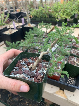 Pelargonium alterans - Well rooted cuttings, perfect for bonsai!