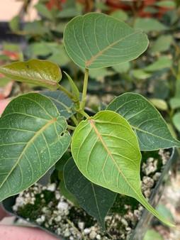 "Ficus religiosa 3.5"" pots - Bodhi Tree!"