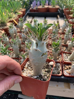"""Pachypodium saundersii 'Compacta' - 2"""" Pots SEEDGROWN here at BW from two 'Compacta' mother plants!"""
