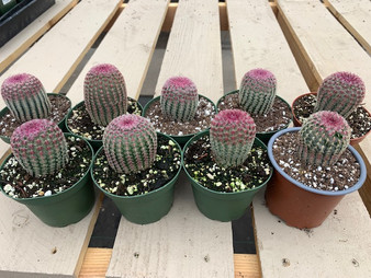 """Echinocereus rigidissimus rubrispinus 4"""" Pots - Rainbow Cactus!"""