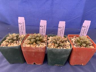 """Haworthia mirabilis(mundula) - 3.5"""" pot - Great color and markings!"""