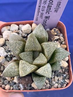 "Haworthia emelyae - 3.5"" Pot"