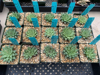 DAILY DEAL 4/26/21 - Haworthia herbacea hybrids - Open-pollinated seed grown plants!