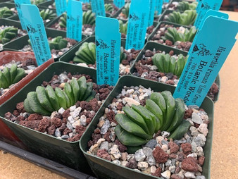 "DAILY DEAL 4/28/21 - Haworthia truncata 'Lime Green' 3.5"" pots"