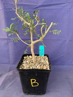 "Bursera microphylla 6"" Pot Specimen B"