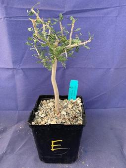 "Bursera microphylla 6"" Pot Specimen E"