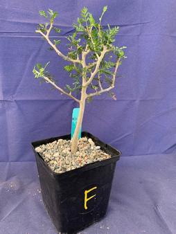 "Bursera microphylla 6"" Pot Specimen F"