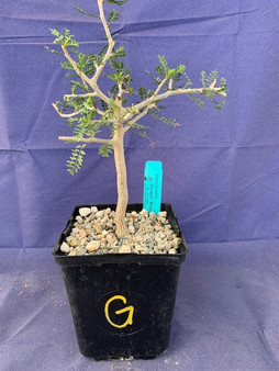 "Bursera microphylla 6"" Pot Specimen G"