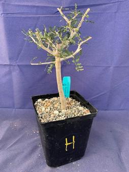 "Bursera microphylla 6"" Pot Specimen H"