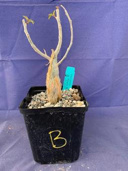 "Bursera fagaroides 6"" Pot Specimen B"