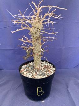 "Operculicarya decaryi B in 8"" Pot - Extra knobby specimen!"