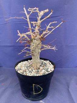 "Operculicarya decaryi D in 8"" Pot - Extra knobby specimen!"