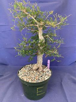 """Operculicarya decaryi E in 8"""" Pot - Extra knobby specimen!"""